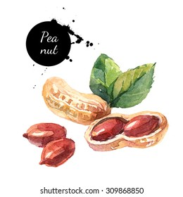 Hand drawn watercolor painting of peanut isolated on white background. Illustration of nut for your design