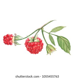 Hand drawn watercolor painting raspberry on white background. Botanical illustration.
