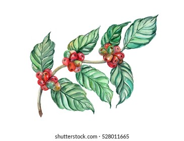 hand drawn watercolor red and green coffee beans on branch isolated on white background.