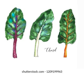 Hand drawn watercolor salad leaf, fresh chard leaf isolated on the white background. Watercolor illustration