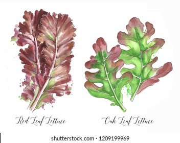 Hand drawn watercolor salad leaf, fresh red lettuce and oak leaf lettuce isolated on the white background. Watercolor illustration
