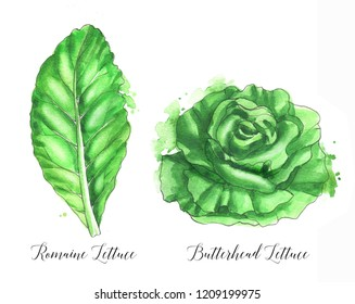Hand drawn watercolor salad leaf, fresh romaine lettuce and butterhead lettuce isolated on the white background. Watercolor illustration