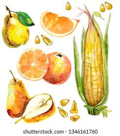hand drawn watercolor set with fruits. pear, peach slices, longan, longan in section, corn cob, corn grain, orange in a cut