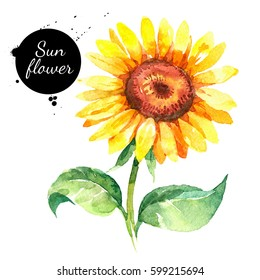 Hand drawn watercolor sunflower illustration. Painted sketch botanical herbs isolated on white background