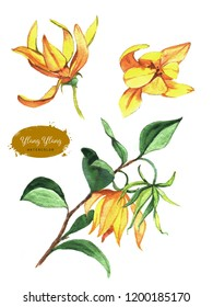 Hand drawn watercolor ylang ylang flowers isolated on white background. Botanical Illustration