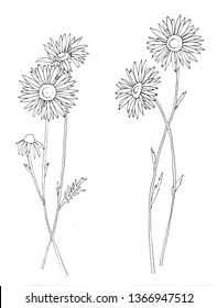 Hand drawn wild hay flowers. Chamomile or daisy flower. Vintage engraved art. Botanical illustration. Good for cosmetics, medicine, treating, aromath
