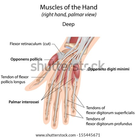 Royalty Free Stock Illustration of Hand Muscles Palm Deep Labeled ...