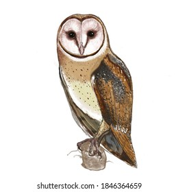 hand painted and color illustration of an owl, bearn owl,