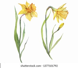 Hand painted daffodils watercolor illustration isolated on white. Floral decor. Clip art set.