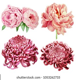 Hand painted floral elements set. Watercolor botanical illustration of peony and chrysanthemum flowers. Natural objects isolated on white background.