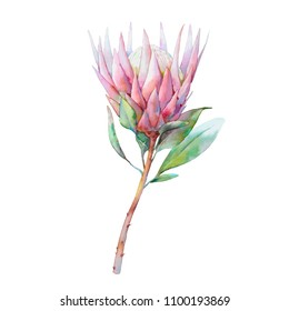 Hand painted floral object. Watercolor botanical illustration of protea flower. Natural element close up isolated on white background