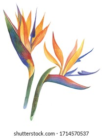 Hand painted flowers of strelitzia isolated on white background. Nature botanical illustration for design