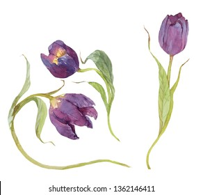 hand painted purple watercolor tulips isolated on white clipart  floral set