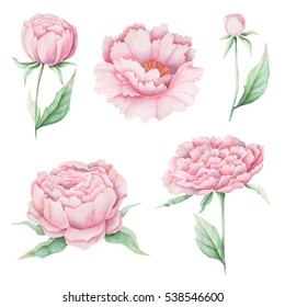 Hand painted Watercolor pink peonies on white background