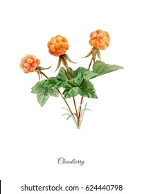 Hand painted watercolor poster with  cloudberry isolated on white background
