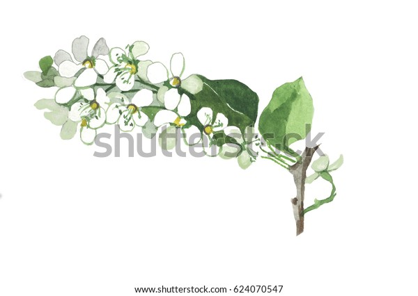 Hand Painting Watercolor Bird Cherry Branch Stock