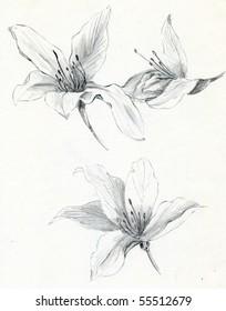 Hand sketch of Bauhinia blakeana flowers, the flower of Hong Kong