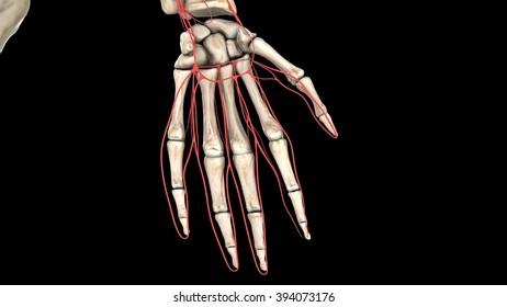 hand&arteries