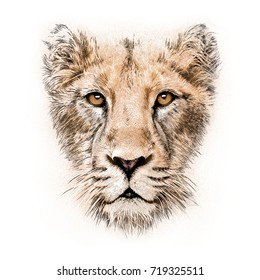 hand-drawing portrait of  a lioness isolated on white background