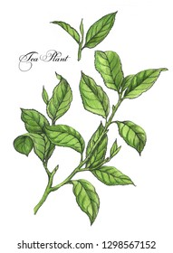 Hand-drawn botanical illustration of the tea. Green plant, branch with tea leaves