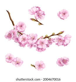 Hand-drawn illustration of cherry branch. Delicate pink flowers on a white background.
