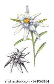 Hand-drawn illustration of Edelweiss on the white background