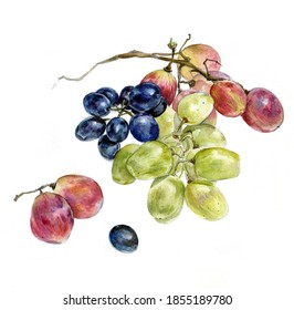 Hand-drawn sketch of assorted  grapes, watercolor on white background