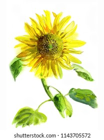 Hand-drawn sunflower, watercolor sketch on white background