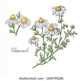 Hand-drawn watercolor botanical illustration of the chamomile plant, flowers, leaves and root. Chamomile drawing isolated on the white background. Medical herbs illustration, herbarium - Illustration