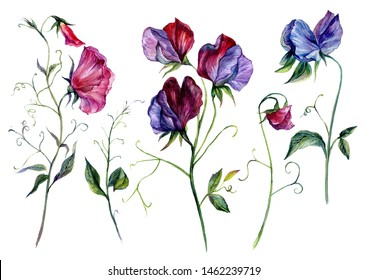 Hand-drawn Watercolor Collection of Sweet Pea Flowers. Botanical Floral Illustration of Lathyrus Odoratus in Vintage Style Isolated on White Background.