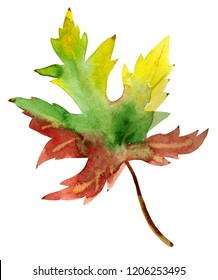 Hand-drawn watercolor drawing of the autumn leaf