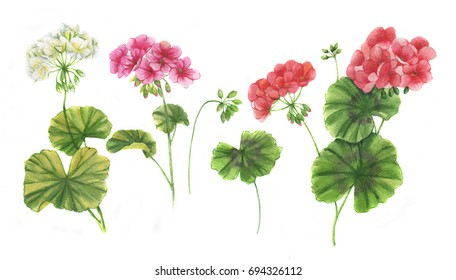 Hand-drawn watercolor floral illustration of the geranium flowers. Natural drawing isolated on the white background. Medicinal plant