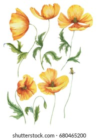 Hand-drawn watercolor floral illustration of the yellow poppy flowers. Natural drawing isolated on the white background. Wild meadow flowers
