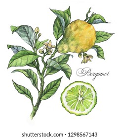 Hand-drawn watercolor illustration of the bergamot plant. Botanical drawing isolated on the white background