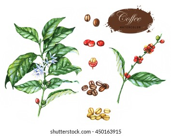 Hand-drawn watercolor illustration of the coffee. Green, red and brown coffee beans, green branches isolated on the white background.