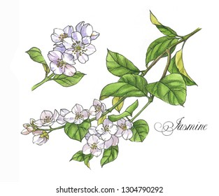 Hand-drawn watercolor illustration of the jasmine. Botanical drawing isolated on the white background: jasmine, blossom, leaves, flowers and branches.