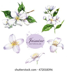 Hand-drawn watercolor illustration of the jasmine. Botanical drawing isolated on the white background: jasmine, blossom, leaves, petals, flowers and branches.