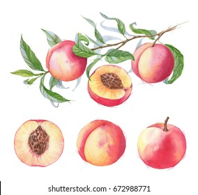 Hand-drawn watercolor illustration of juicy ripe peaches on the branch. Sliced fruits isolated on the white background. Summer healthy food drawing