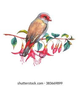 Hand-drawn watercolor illustration of the red-browed finch on the branch of fuchsia flowers. Wild colorful bird drawing. Nature isolated illustration
