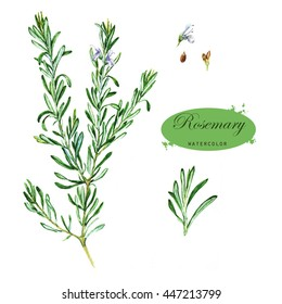 Hand-drawn watercolor illustration of the rosemary. Botanical drawing isolated on the white background. Rosmarinus officinalis