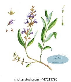 Hand-drawn watercolor illustration of the salvia. Botanical drawing isolated on the white background. Salvia officinalis