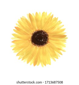 Hand-drawn watercolor illustration of a sunflower. Isolated flower on a white background