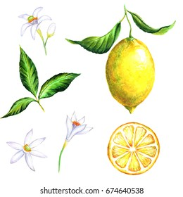 Hand-drawn watercolor illustration of the yellow lemons. Drawings of the sliced fruits, flowers and branches, isolated and close up on the white background.