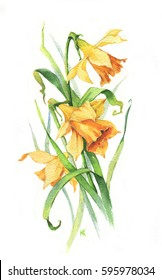 Hand-drawn watercolor tender spring narcissus blossom. Artistic daffodils flowers. Natural illustration for the floral decorative design on the white background.