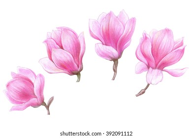handmade colour pencils drawing of a magnolia gente flowers