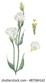 Handmade watercolor botanical illustration of white eustoma