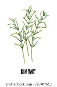 Hand-painted watercolor rosemary on white background. Botanical illustration of culinary herbs