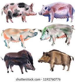 Handwork water color illustration of different pigs in white background.
