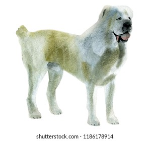 Handwork watercolor illustration of Alabai shepherd dog in white background.