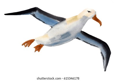 Handwork watercolor illustration of a bird Albatross in white background.
